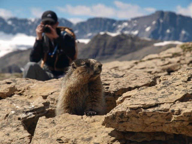 Hoary marmot at saddle below Cirque Peak
