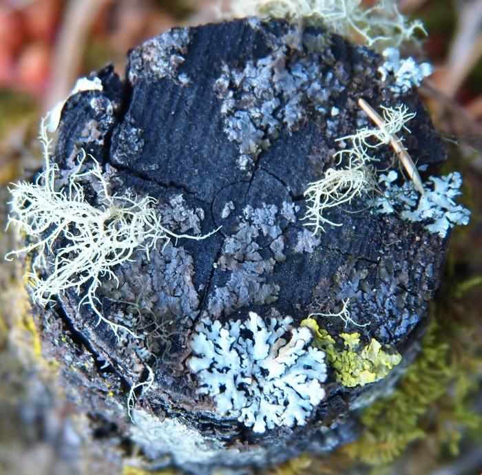 Tree stump growing multiple lichens