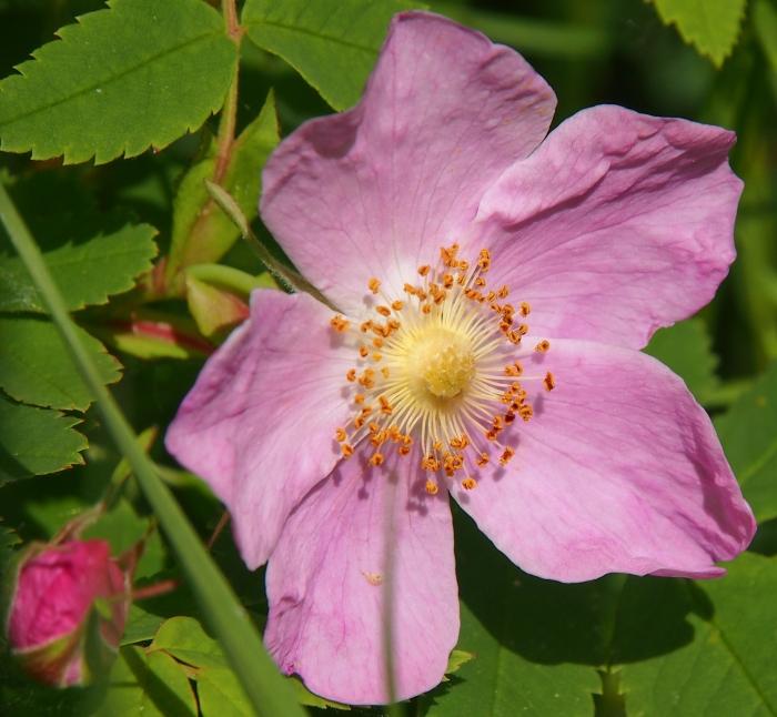 Alberta wild rose blossom