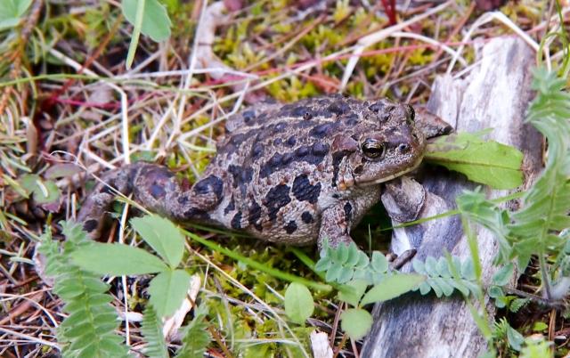 Boreal toad