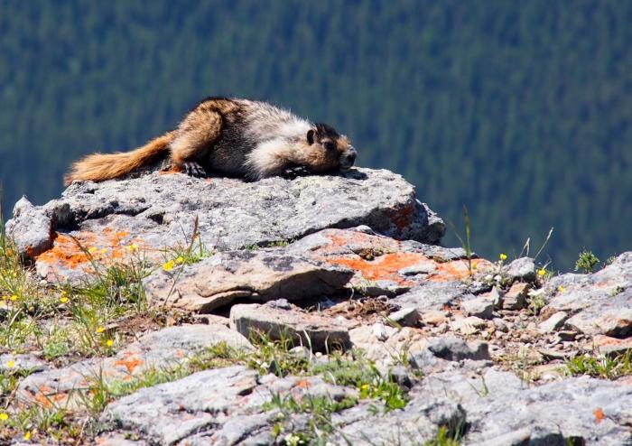 Marmot in the sun