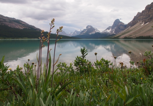 Wildflowers along the north shore of Bow Lake