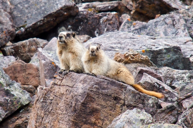 A sunning pair of marmots