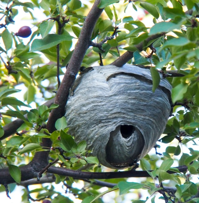 Bald-faced hornet nest in our flowering crabapple tree