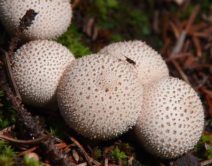A fly explores a small group of spiny puffball mushrooms