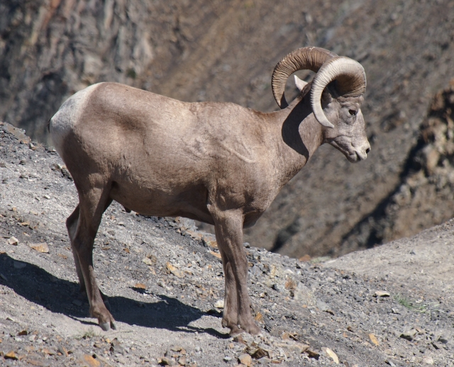 This ram had tehe biggest horns in the herd, so we're glad he pretty much ignored us