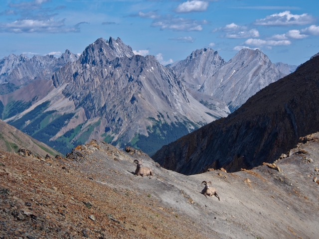 Two bighorn sheep on Grizzly Ridge