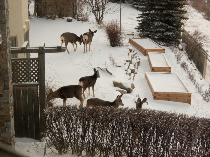 Deer in the backyard - January 2012