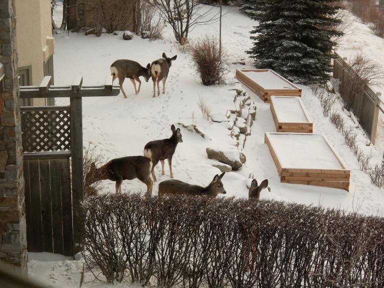 Deer in the backyard - January 2012