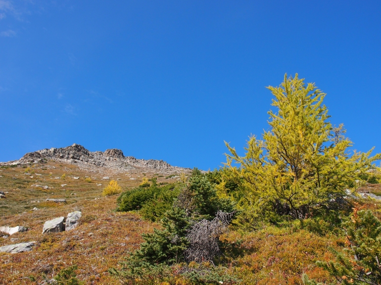 Lonely larch below the summit of Mount St. Piran