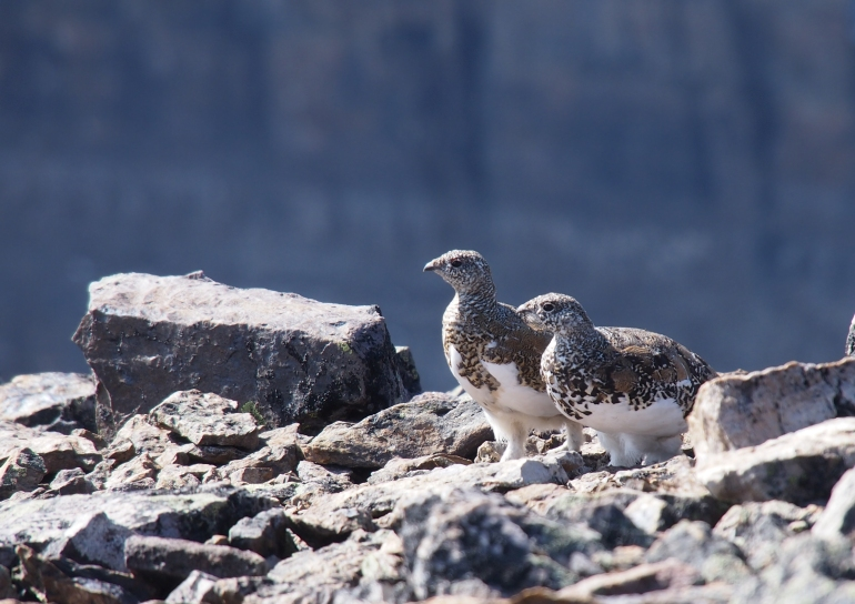 A pair of ptarmigan