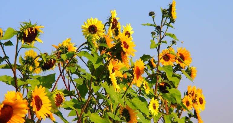 Sunflowers in South Glenmore Park