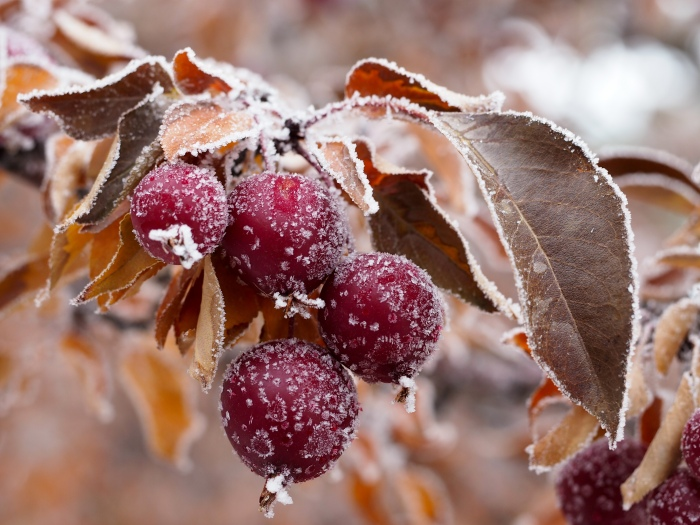 Crab apples and ice crystals