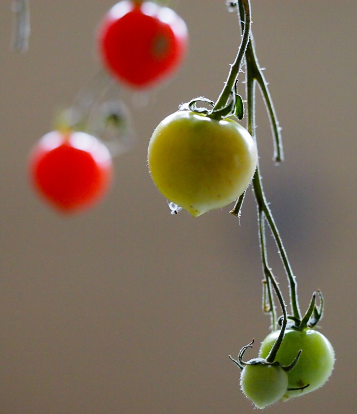 Cherry tomatoes ripening in the garage