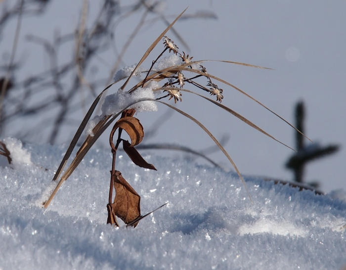 Seed pods in snow