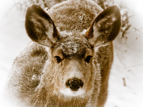 A small herd of mule deer regularly visits our backyard.
