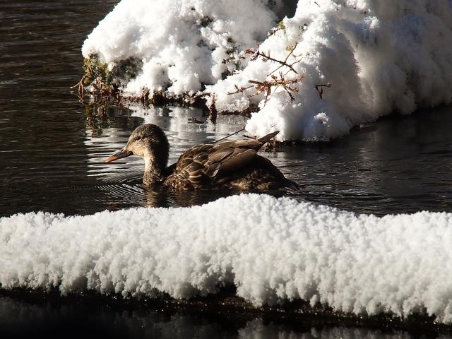 A Mallard hen swimming between snow-covered logs.