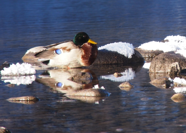 The blue speculum patch is highly visible on this Mallard duck's folded wing.