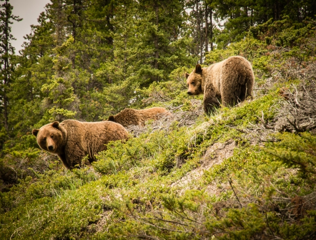Mother grizzly and two cubs at Maligne Canyon