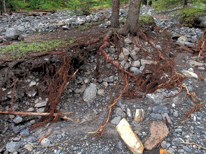 Spruce tree roots desperately cling to rocks along the creek bank
