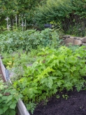 Parsnip and potato tops dominate the garden this year
