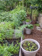 Some lettuce, tomatoes and strawberries are in pots this year