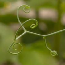 Multiple Tendrils