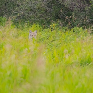 One of two coyotes that caused me to drop my plan to find GC2FGN5 Paskapoo Slopes - Calgary Parks 100