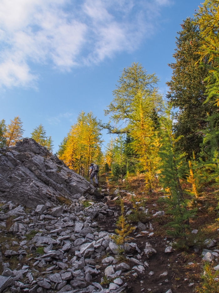 K passes some golden larch as he makes the short climb to the edge of the rubble field below Mount Tyrwhitt