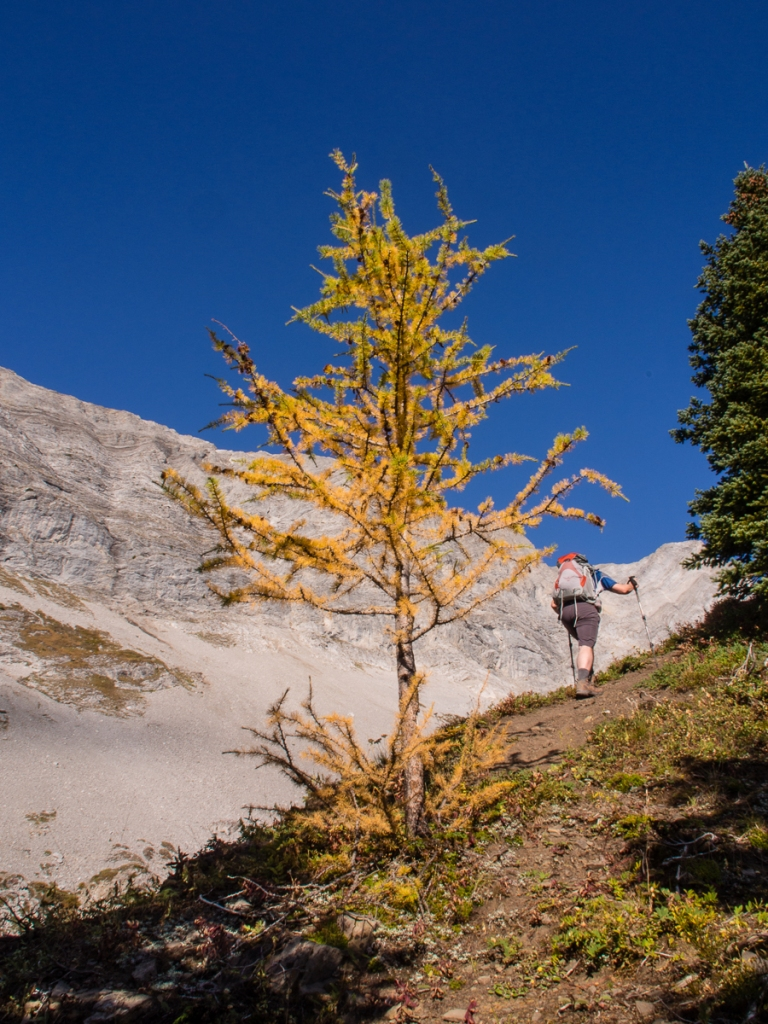 Mr. GeoK passes a golden larch as he starts up to the first summit of Pocaterra Ridge