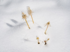 These stubborn stems of Western Pasque Flowers gone to seed stick out through the first snow of the season.