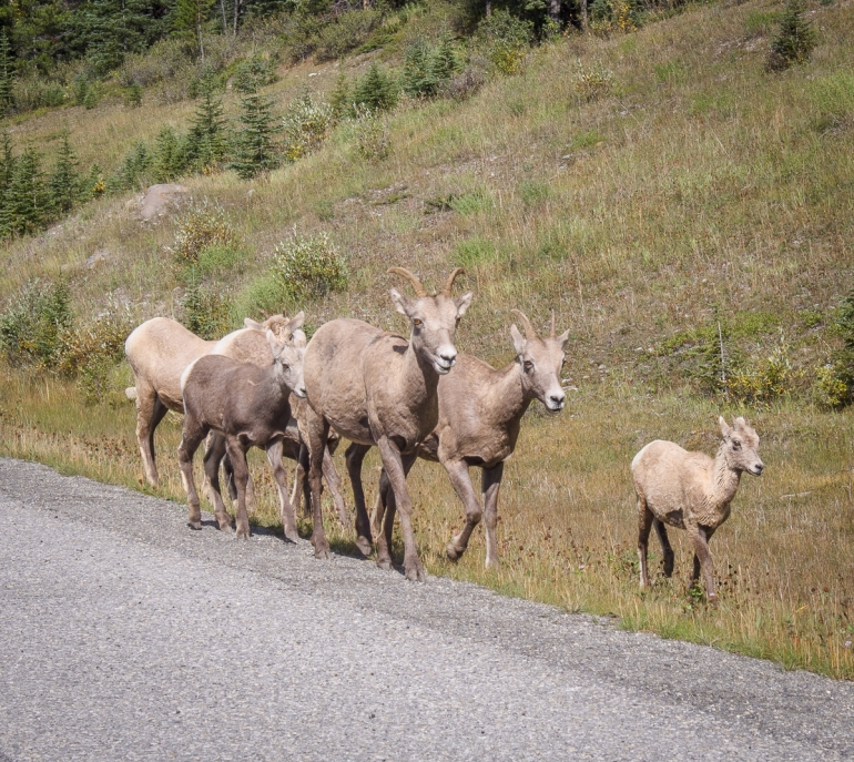 We spotted this small herd of Rocky Mountain (not so) Bighorn Sheep on our drive back to Calgary. They were wandering along Highway 40 not too far from King Creek.