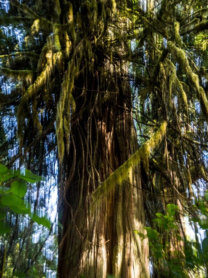 Moss-draped western red cedar