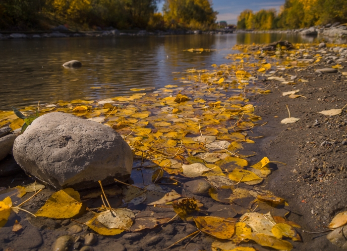 This band of yellow poplar leaves is resting along the shoreline of the lagoon at Prince's Island Park - a large urban park that borders the north edge of Calgary city centre.