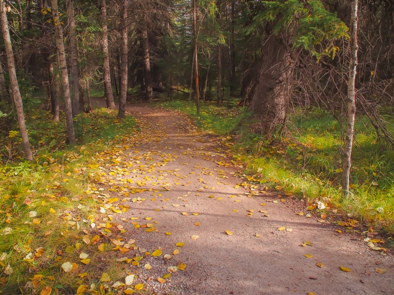 The Riverside Trail in Canmore winds its way through mixed forest...mostly conifers, but also some aspen. The aspen leaves turn pale green, then yellow, then gold and drop to the ground. There were just enough of them along this stretch of the pathway that it seemed to me to be representative of a typical woodland pathway in Alberta's short fall season.