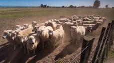 Clifton-Station-Sheep