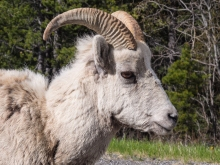 Rocky-Mountain-Bighorn-Sheep