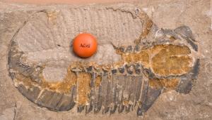 stanley-glacier-fossil