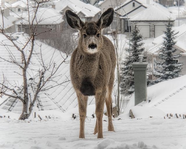 Rocky-Mountain-Mule-Deer