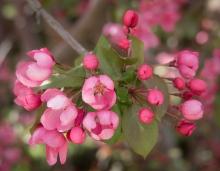 Crabapple-Blossom