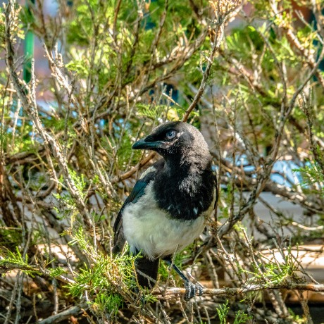 American Magpie