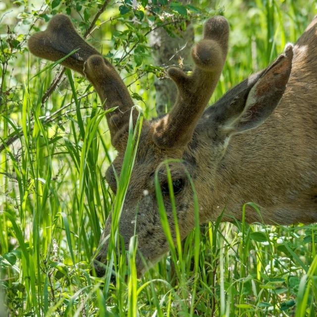 Browsing-Buck-Deer