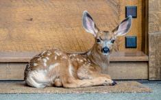Rocky-Mountain-Mule-Deer-Fawn