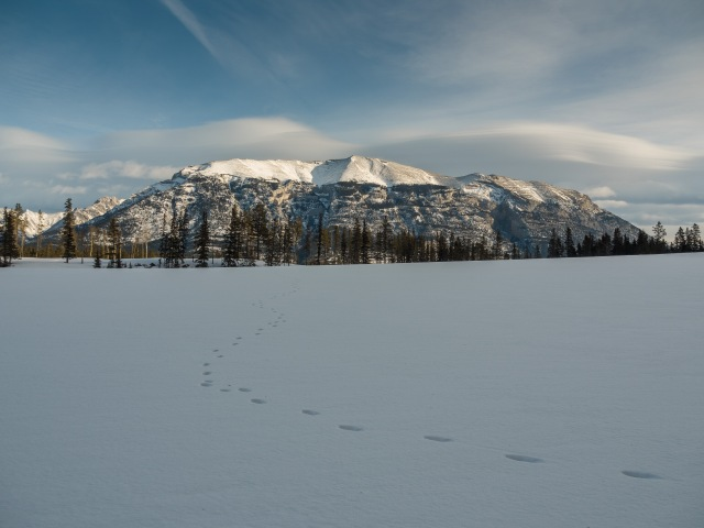 Coyote-tracks-across-snowy-field