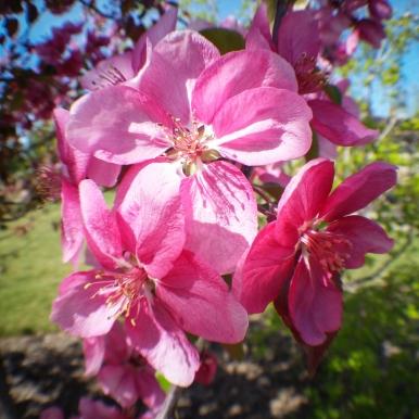 crabapple-blossoms
