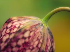 tulip-blossom