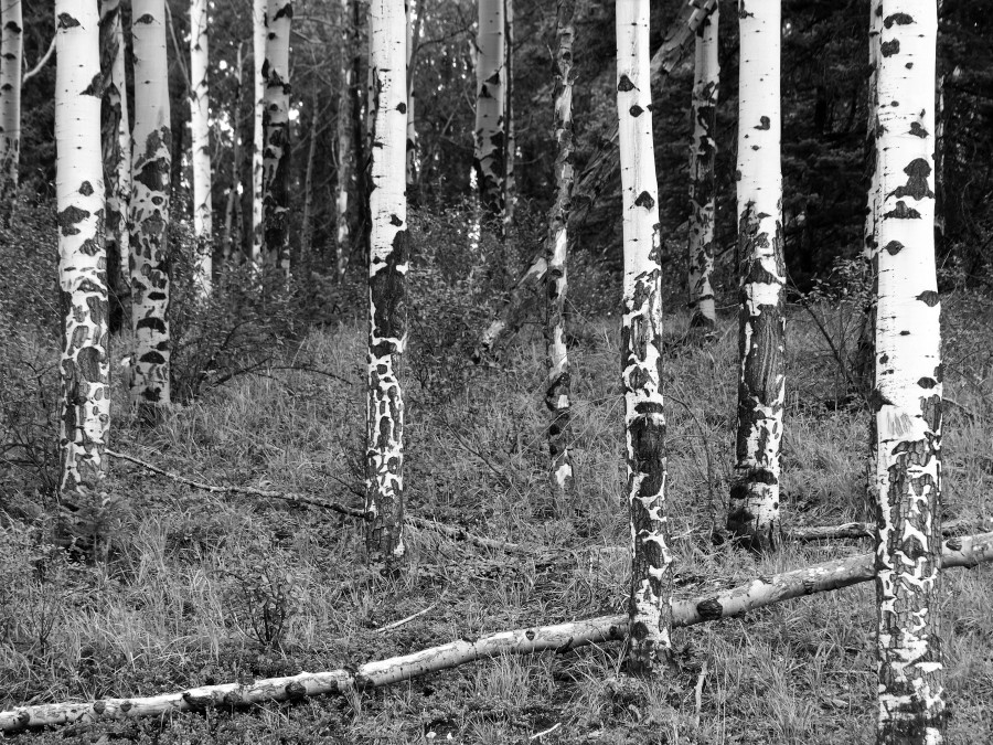 Aspen-tree-trunks