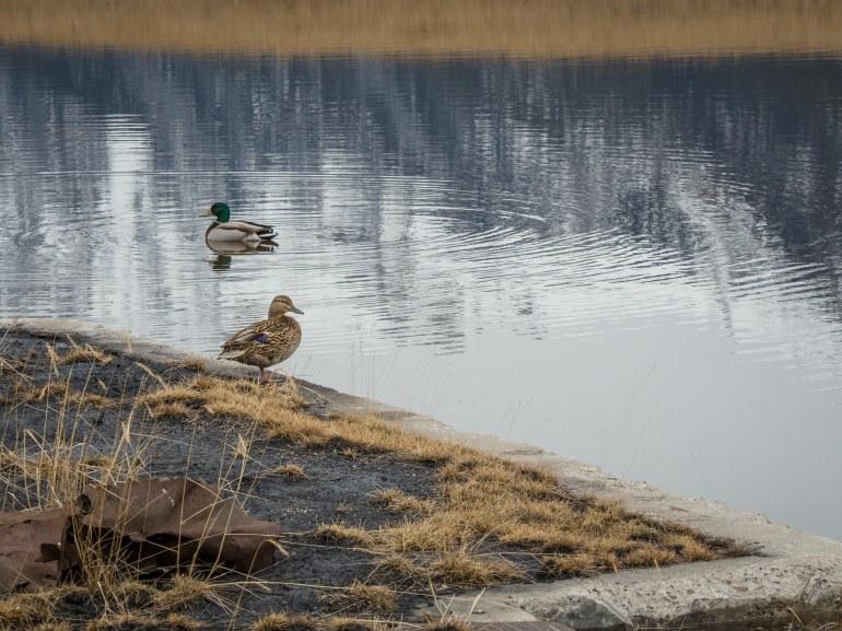 mallard-ducks