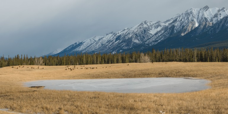 Canmore-elk
