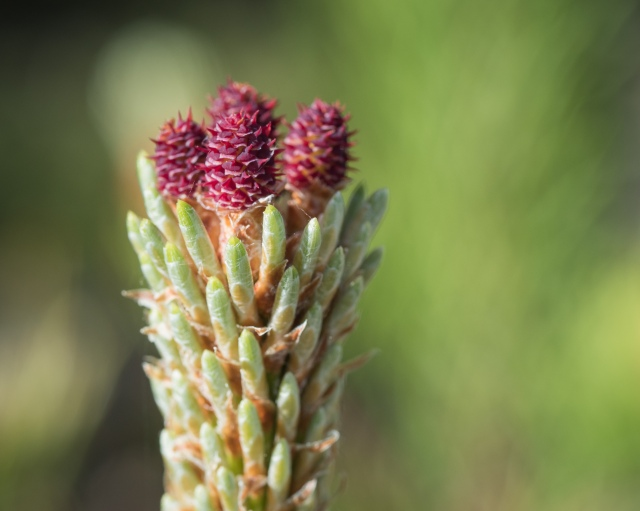 spruce-buds